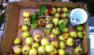 Récolte de pommes de sorcières au crépuscule